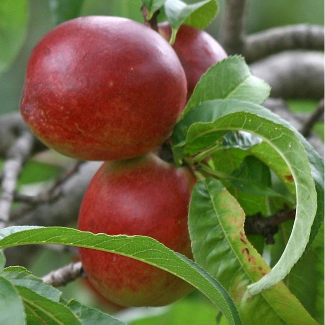 vocne sadnice nektarine