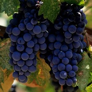 lozni kalemovi vinske sorte