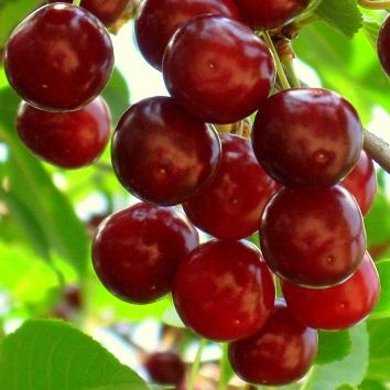 vocne sadnice visnje