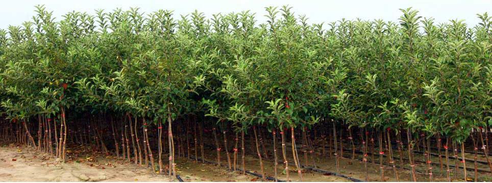 sadnice voca i lozni kalemovi 5
