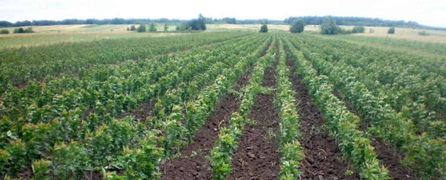 sadnice voca i lozni kalemovi 3