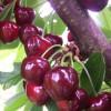 vocne sadnice tresnje-burlat