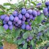 vocne sadnice sljive