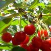 vocne sadnice visnje-visnja oblacinka