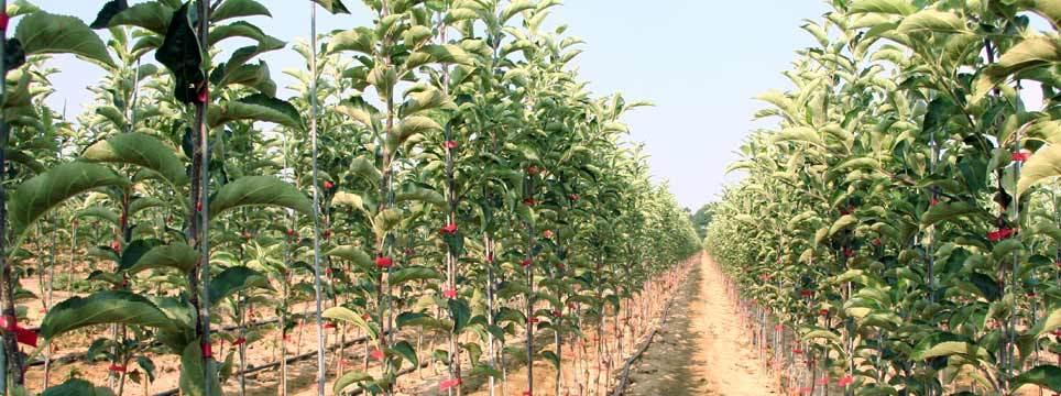 sadnice voca i lozni kalemovi 2