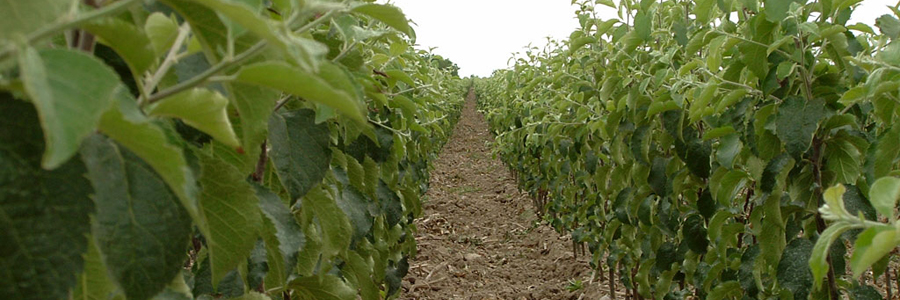 sadnice voca i lozni kalemovi 1