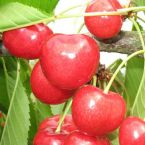 vocne sadnice tresnje-sanberst