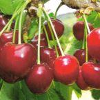vocne sadnice visnje-hajmanov rubin