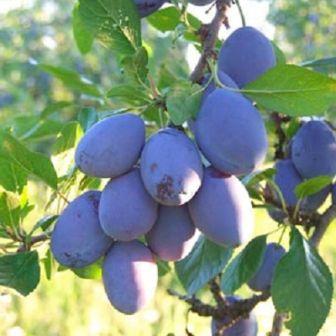 vocne sadnice sljive-stenlej